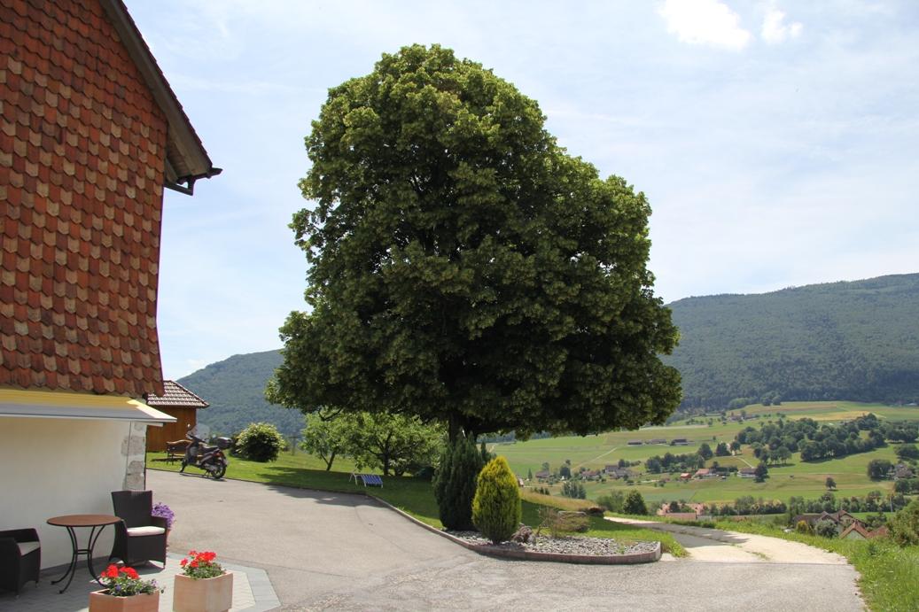 Lindenbaum am Güggelhofweg